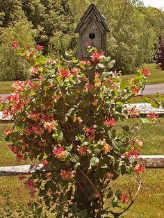 Attract hummingbirds all season with trumpet honeysuckle #hummingbirds #gardening
