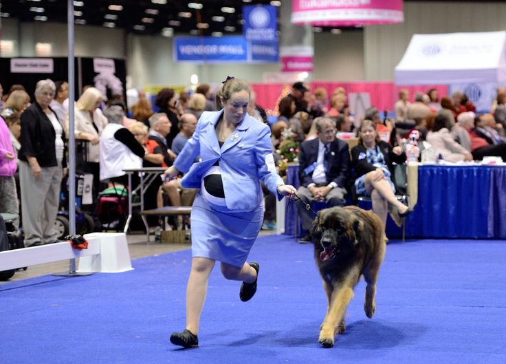 akc meet the breed series