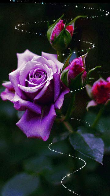 Magical Purple Rose Rose سبحان الله وبحمده سبحان الله العظيم !!