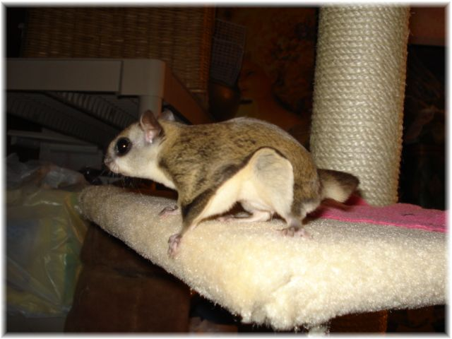 janda exotics, flying squirrel for sale, baby flying squirrel for sale, baby flying squirrel for sale in texas, flying squirrel breeder, flying squirrel breeder in texas, hand fed flying squirrel babies, exotic pet breeder, exotic pets, flying squirrels as pets,