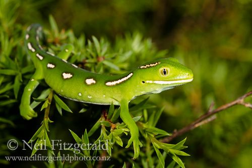 The North Cape green gecko, it would be great to see one of these little fellows before we launch.