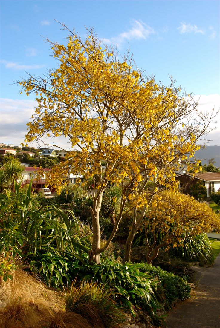 Kōwhai are small, woody legume trees in the genus Sophora native to New Zealand…