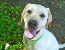 MATTY is non-stop smiles! This beautiful girl is 9mo, Lab-Ret, gorgeous white coat; is very active & will thrive with a family. She'll be a great jogging & hiking partner. She's smart, knows sit & shake. She'll excell in our 6-wk on-campus obedience trng course included in her adoption package! Come meet Matty today & be charmed by her gorgeous smile & happy-go-lucky personality.    Seattle Humane Society 13212 SE Eastgate Way Bellevue, WA 98005 425.641.0080  Please take me home!