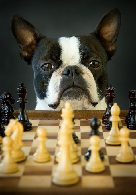 Check Mate: this is from a marvelously adorable board, Frenchie Files. I  believe, however, this darling baby is a Boston Bulldog rather than a  Frenchie.