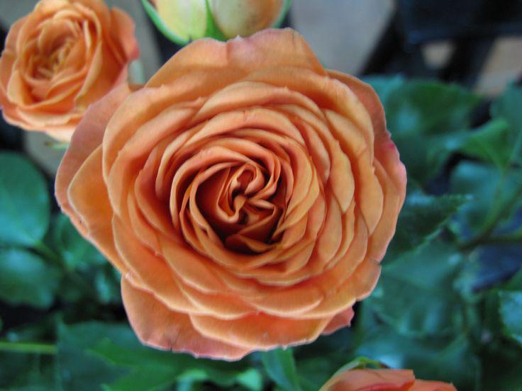 Spray Rose scrimsflorist.com