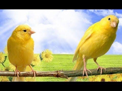 Canto de Pássaros Silvestres e Exóticos 25 Cantos   - YouTube