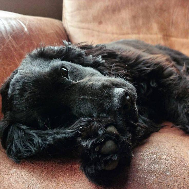 mabelwiggles english cocker spaniel puppy