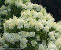 Bobo® - Hardy Hydrangea - Hydrangea paniculata | Proven Winners