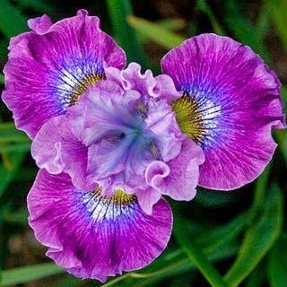 Louisiana Iris 'Joie de Vi