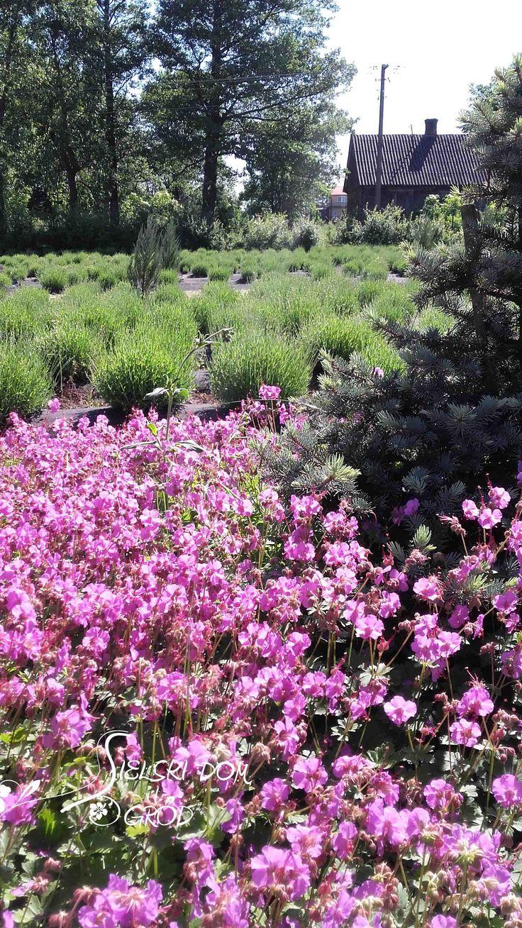 Geranium macrorhizum. Sielski ogród. Cottage garden.