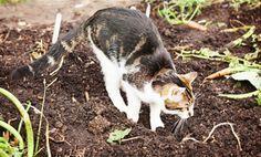 Comment cr er un r pulsif naturel et non dangereux pour les chats jardin repulsif chat - Repulsif chat jardin naturel ...