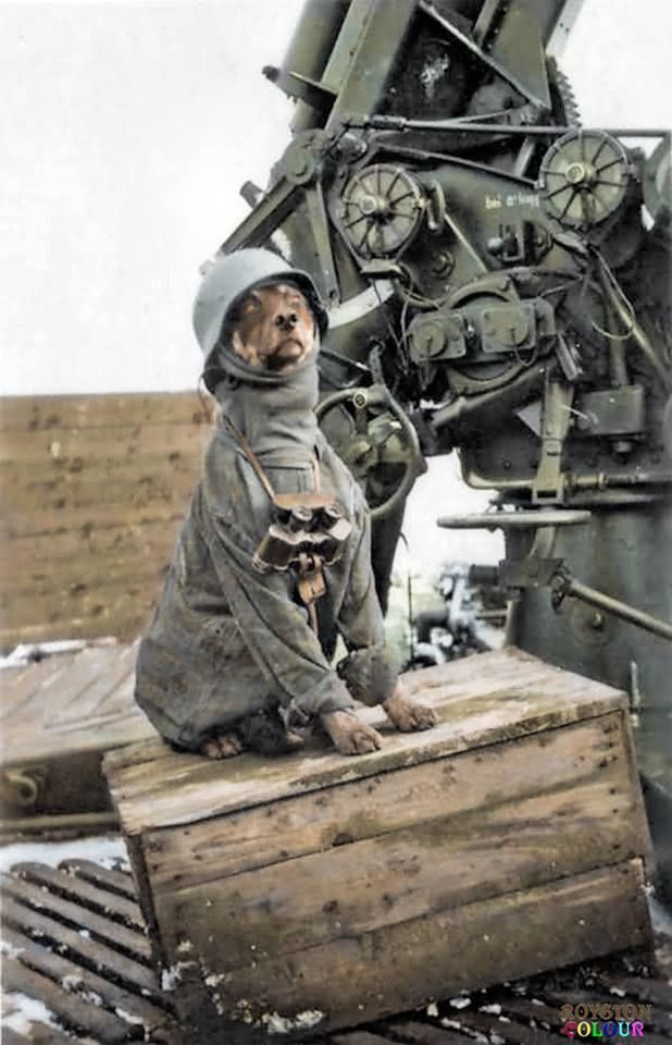 A rare light hearted view of war. A German Flak crew photo of their regimental mascot sitting by a 88mm, FlaK 36. Flugzeugabwehrkanone (aircraft-defense cannon) (Colourised by Royston Leonard UK)