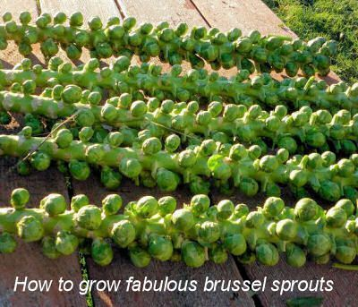 How to Grow Brussel Sprouts | i didn't realize this is how they grew! so pretty!