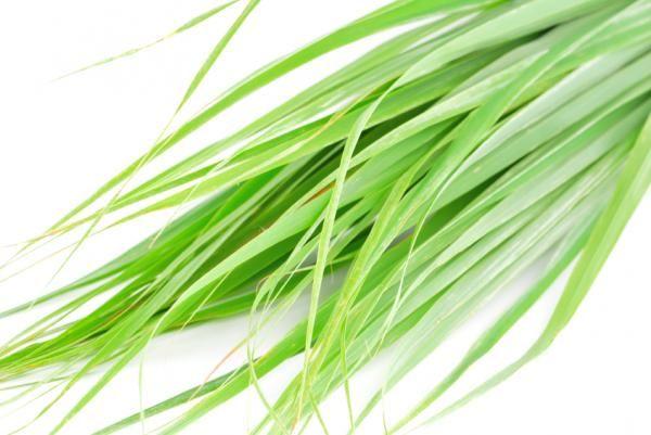 Cómo cuidar una citronela. ¿Conoces la hierba limón o citronela? Quizá sepas que se usa en muchos hogares para ahuyentar a los mosquitos u otros insectos pequeños, o por sus distintos usos medicinales en herboristería. Se trata...