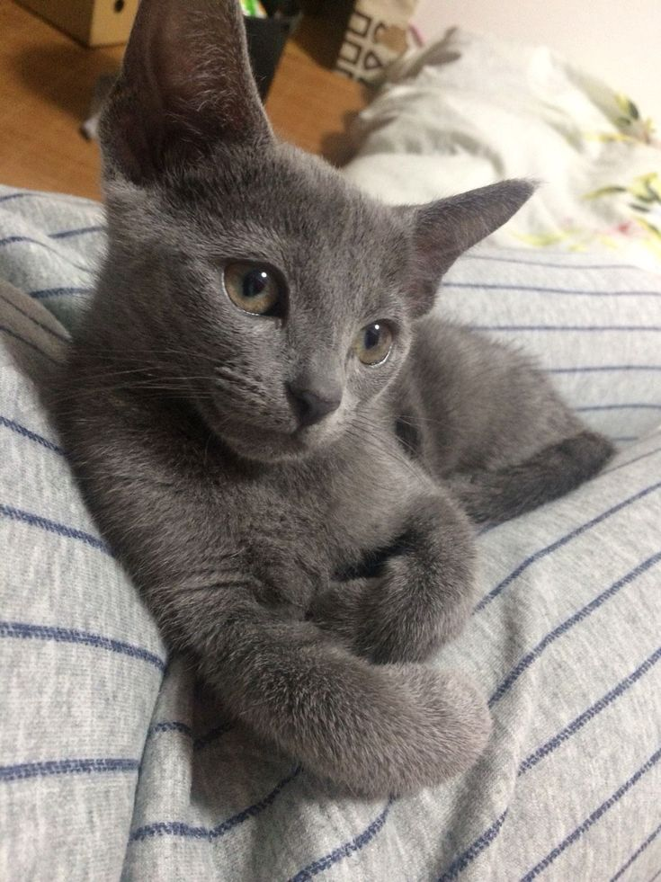 Adorable Gray Kitten Catdiy Russian Blue Cat Blue Cats Cat Care