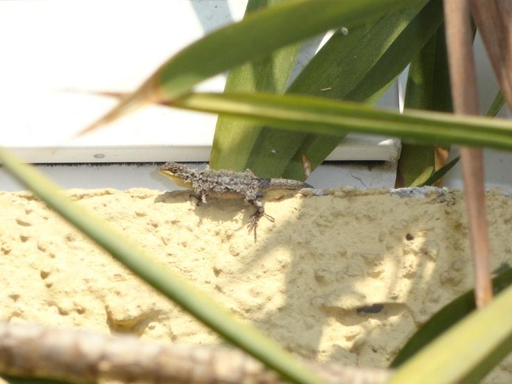 por allí viven tres lagartijas que siempre van al borde de la ventana a tomar  el sol.