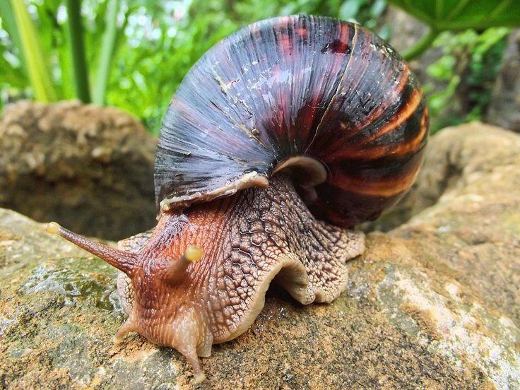 Santo Domingo, (EFE).- El Ministerio de Salud informó hoy de que desde noviembre de 2016, cuando fue detectada la presencia del caracol gigante africano en la zona Este del país, se han capturado, recolectado e incinerado cerca de 15,000 libras del molusco. La institución señaló, en un comu...