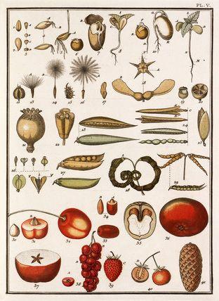 Jean Baptiste François Bulliard -- Plate V -- Botanical Plates -- RHS Prints