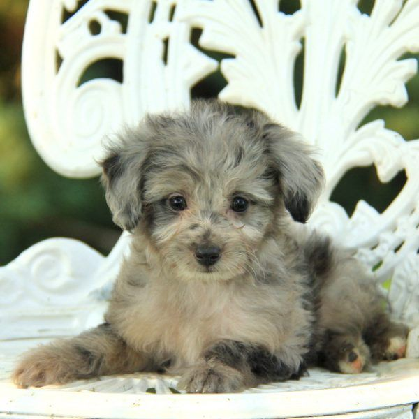 Tiny Tim, Aussiedoodle - Miniature Puppy