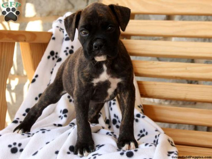 Brindle Boxer Puppy