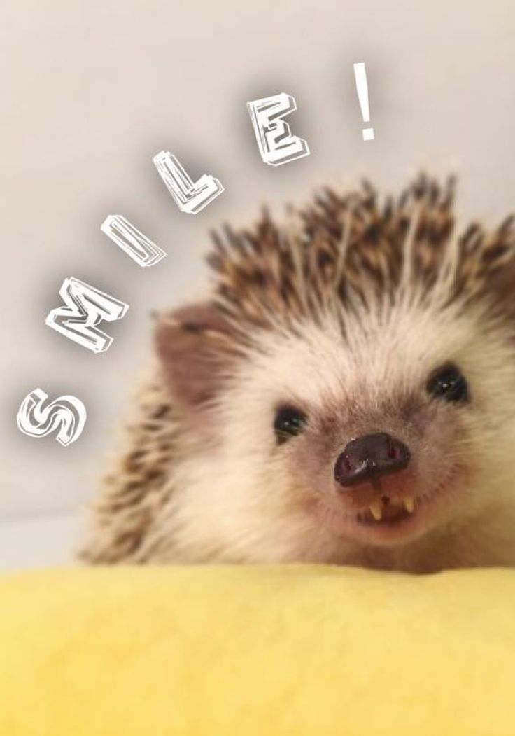 Huff the hedgehog - What could possibly make a hedgehog even more adorable? Try two front fangs, which stick out in nearly every picture of Sir Hodge Huffington the Cricket Slayer, an African pygmy hedgehog.  Read more: http://www.oprah.com/creaturecomfort/animals-to-follow-on-instagram#ixzz4AuskPK51