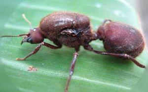 Fauna de la selva peruana - La siquisapa