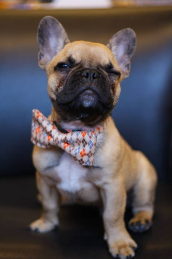 Handsome little frenchie