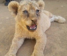 "Animal protection groups welcome denouncement of captive-bred or ""canned' lion hunts from one o"