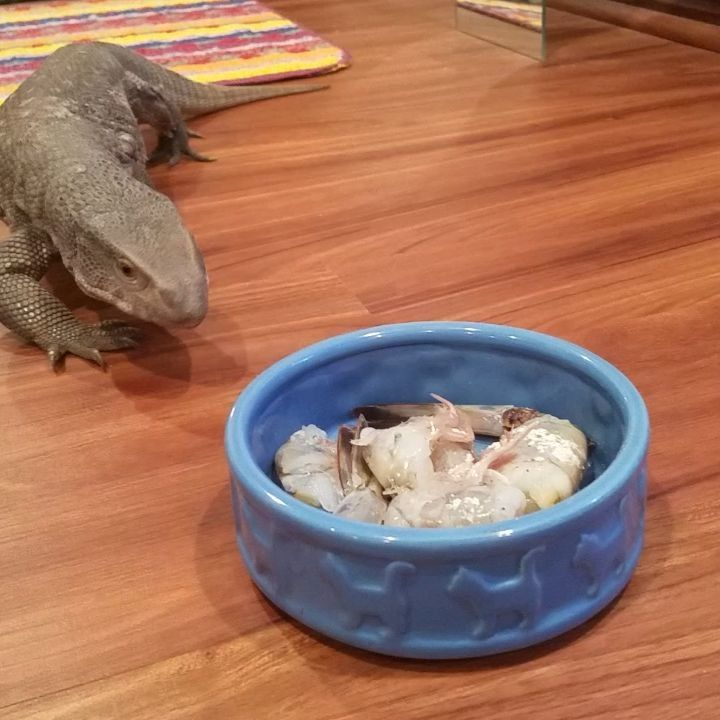 "611 curtidas, 23 comentários - Tae Li Starlette (@herpnerd) no Instagram: ""Rexx's first shrimp. #savannahmonitor #bosc #savannahmonitors #monitors #lizard #lizards #reptiles…"""