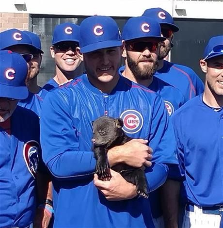 MESA, Ariz. (AP) — The Chicago Cubs have been visited by some actual cubs, playing with the baby bears at spring training before their daily stretching program. The two male cubs spent time Friday with the front-office…