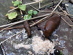 Slakken zijn gek op paneermeel -Strooien. Daarna verzamelen.