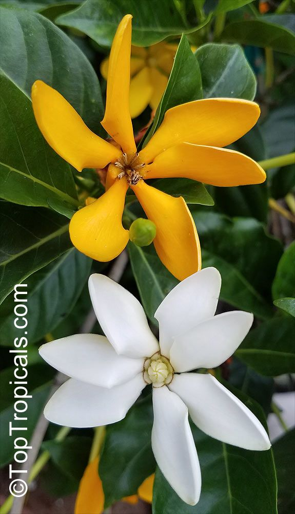 Gardenia Tubifera Kula Golden Gardenia Golden Gardenia Kula Very Rare Tropical Gardenia Medium Size Slow Growing Sh Growing Shrubs Fragrant Plant Gardenia