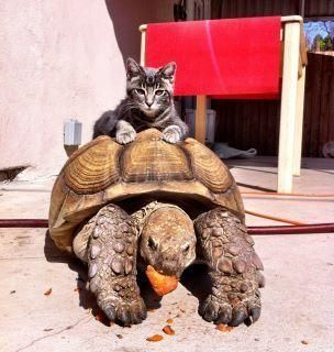 Best Giant Tortoises And Pandas Images On Pinterest Giant - Injured tortoise gets set lego wheels help move