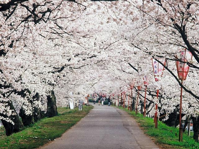 斐伊川堤防桜並木(島根県雲南市)