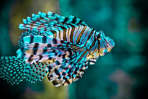 One day I want a huge aquarium with exotic looking fish like this in it. :)