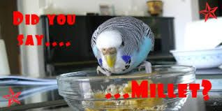 Image result for cute budgies