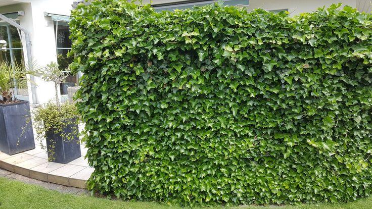 Murgröna som klättrar i ett nät blir till en ute vägg.