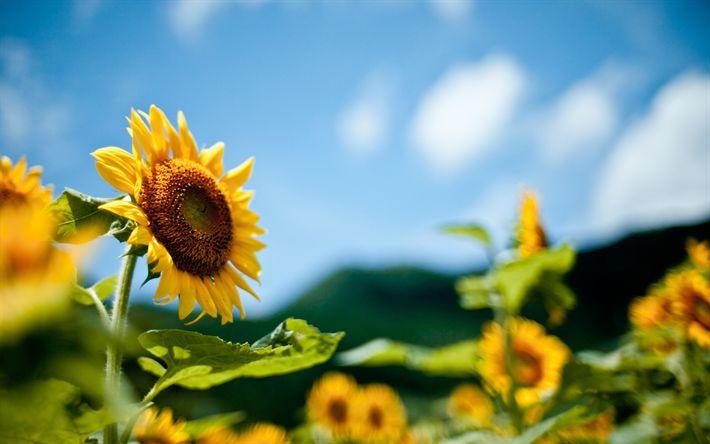 Lataa kuva Auringonkukat, kesällä, kenttä, blur, Ukraina