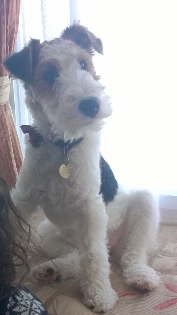 103 best Love ❤ my Fox Terrier images on Pinterest | Wire fox ...