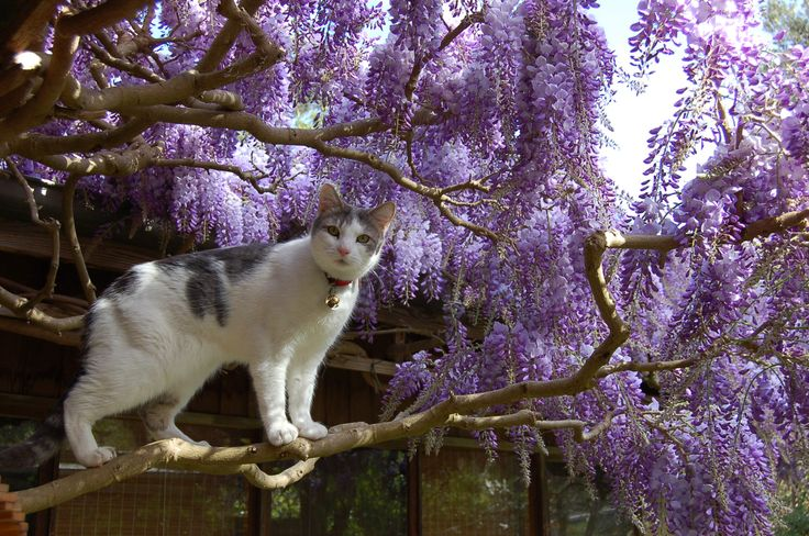 Jack in the wisteria