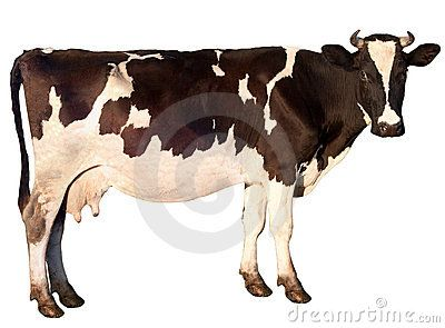 Cow is isolated on a white background