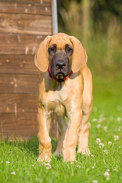 Deutsche dogge welpen gelb