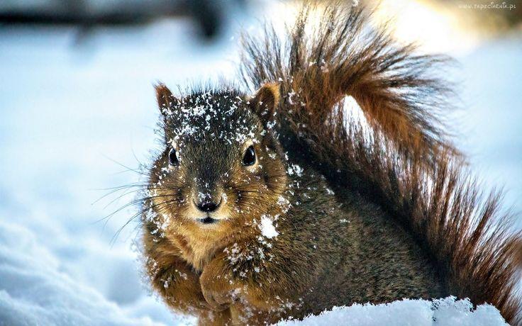 Wiewiórka, Śnieg