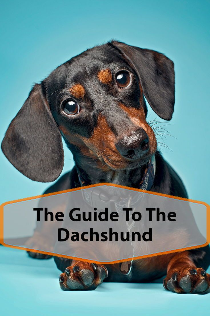 The Dachshund Breed Information Dachshund Breed Dachshund