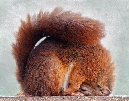 Eichhörnchen Yoga