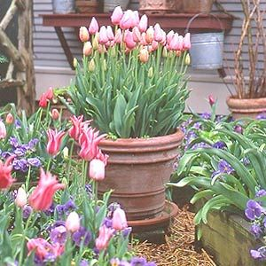 Tulip Container :  I used 50 bulbs in my 17 inch container and next year when they bloom it will be nothing short of spectacular. I chose the variety 'Menton' because I like the salmon pink color.
