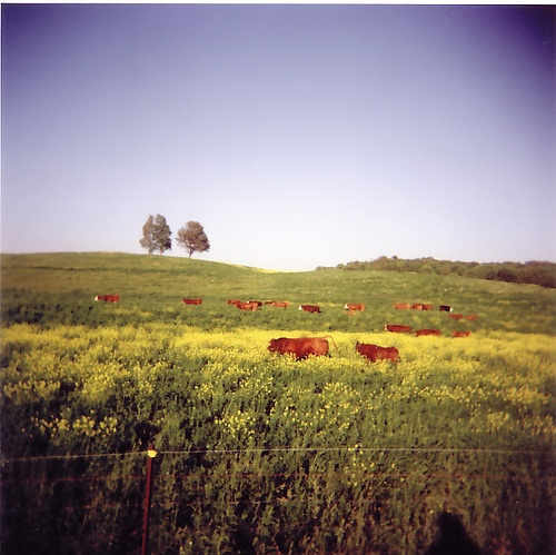 I love living in the country, where there are more cows than people. :) yee-haw