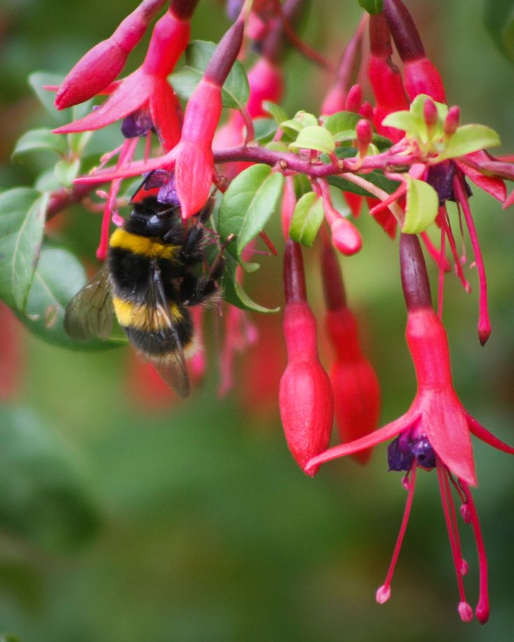 Bumblebee by EVM Pet and Nature Photography | Deloraine, Tasmania