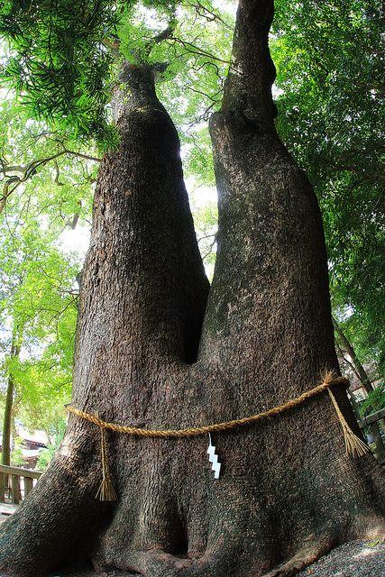 Shimenawa Shide on a Double-Trunk Tree. Izanagi Shrine. Tenri, Japan.