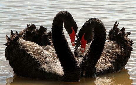 Approximately 25% of all black swans are gay. Homosexual male swans tend to form temporary threesomes with females to obtain eggs.  After the chicks are born, the female swan is driven away and the males raise their family together.